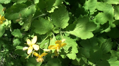 Celandine flowers close up 2 Stock Footage