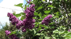 Lilac against the blue sky 2 Stock Footage
