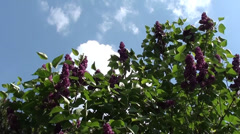 Lilac against the blue sky Stock Footage