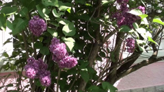 Lilac bush in blossom Stock Footage