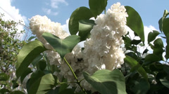 White lilac against the blue sky 2 Stock Footage