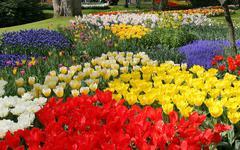 Flower bed in Keukenhof gardens - stock photo