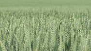 Stock Video Footage of Green Wheat Field Close Up