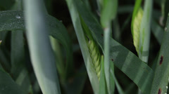 Barley ears with dew drops in the windy morning, cereal grain, macro Stock Footage