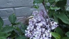 Hovering Hummingbird sphinx moth pollinating lilac flower bush at dusk Stock Footage