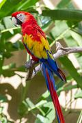 Scarlet macaw in nature surrounding Stock Photos