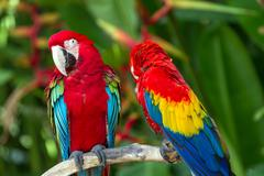 couple of green-winged and scarlet macaws in nature surrounding - stock photo