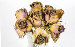 Glass vase of eight dying mauve roses Stock Photos