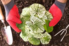 gardener planting shades of innocence caladium - stock photo