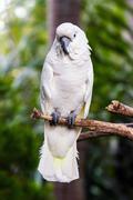 Umbrella cockatoo (cacatua alba) in nature surrounding Stock Photos