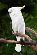 sulphur crested cockatoo in nature surrounding - stock photo