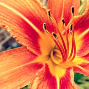 Day lily close up Stock Photos