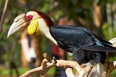 Bar-pouched wreathed hornbill in nature surrounding Stock Photos