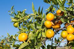 Mandarinos in Valencia - stock photo