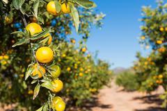 Mandarinos in Valencia Stock Photos