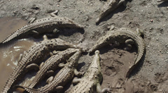 Costa Rica, Crocodiles in mud Stock Footage