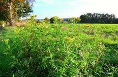 Common tansy herbs Stock Photos