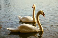 mute swan on the lake - stock photo