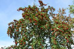 top of tree red rowan in autumn - stock photo