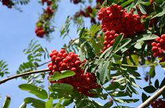detail of red rowan on the tree in autumn - stock photo