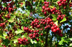 Hawthorn red berries on the small tree - stock photo