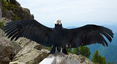 Andean condor  in wildness - stock photo