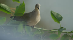 Close up of dove perching on branch / Cap dAil, France Stock Footage