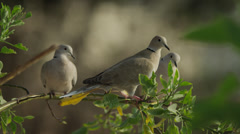 Close up of doves perching on branch / Cap dAil, France Stock Footage