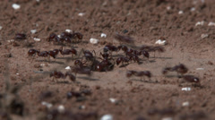 Harvester ants at entrance hole 2 Stock Footage