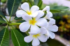 Plumeria Obtusa Flowers. - stock photo
