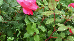 1742 Pink Rose with Water Drops, HD Stock Footage