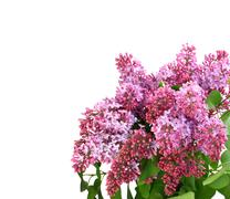 Bouquet of purple lilac on white Stock Photos