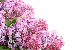 bouquet of purple lilac on white - stock photo