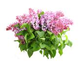 Stock Photo of bouquet of purple lilac on white