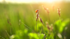 Spring meadow with ladybug flying to sunset. Full HD 1080 video footage. Slowmo Stock Footage