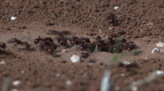 Harvester ants remove dirt from entrance hole 3 Stock Footage