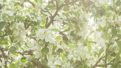 Apple tree in blossom, morning sun peaking through leaves Stock Footage