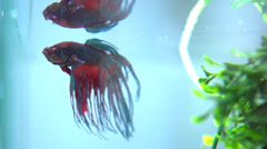 Betta Fish in Aquarium. Slow Motion Full HD 1080 Video Footage. Slow-mo Stock Footage