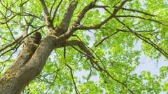 Low angle video of maple tree in spring Stock Footage