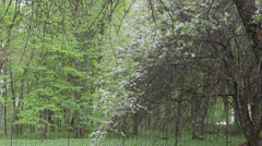 Rain falling plum cherry tree white bloom petals spring garden Stock Footage