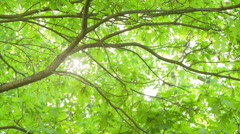 Sunlight peaks through oak leaves Stock Footage