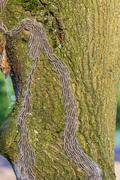 oak processionary caterpillar crawling up on a oak tree - stock photo