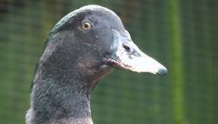 Big Fat Duck. Petting Zoo. Stock Footage