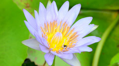 Lotus and bee1-1 Stock Footage