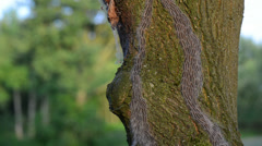 oak processionary caterpillar crawling up on a oak tree - stock footage