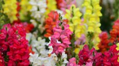 Snap dragon (Antirrhinum majus) in the wind Stock Footage