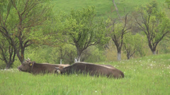 Cows in meadow, resting after feeding.Two cows sitting on green mountain pasture Stock Footage