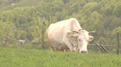 ULTRA HD 4K Beautiful white cow walk home mountain hill graze green grass meadow Stock Footage