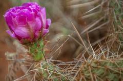 Escobaria, pincushion cactus or foxtail cactus Stock Photos