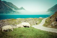 sheep walking along road. norway landscape - stock photo